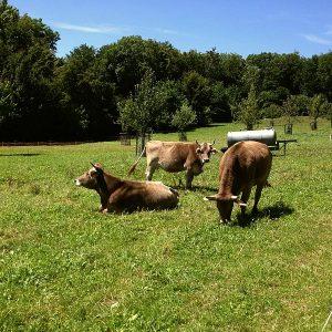 Rinder und Kälber ...