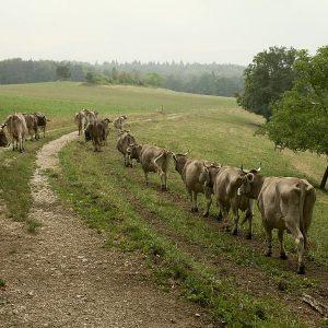 Die Kühe kommen auf der hinteren Tagesweide an