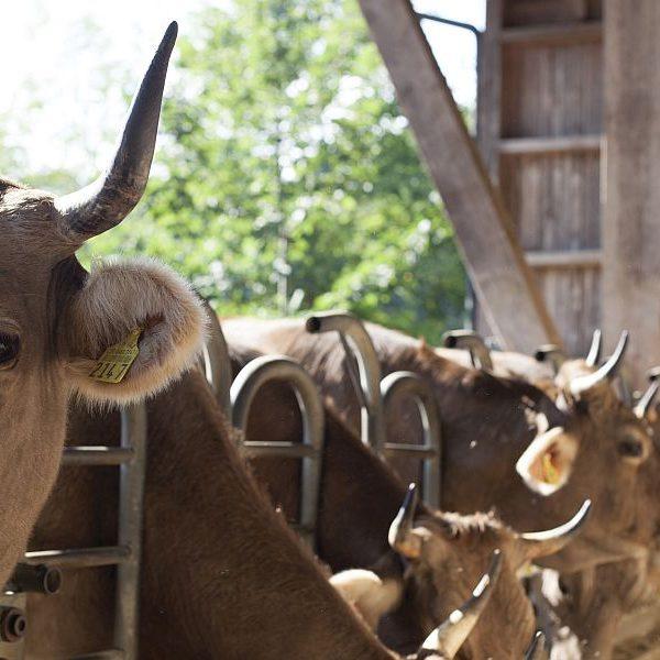 Horntragende Kühe