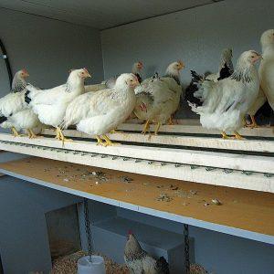 Der Hühnerschlafplatz