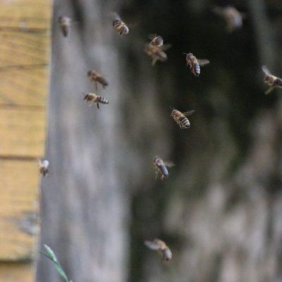 Die Bienen kommen nach Hause ...