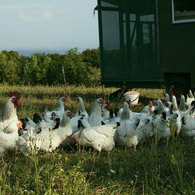 Die Eierlieferanten: Sussex-Hühner