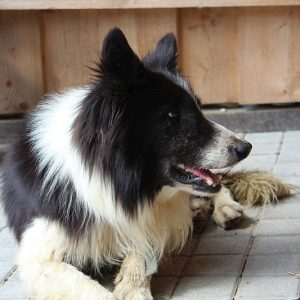 Bordercollie Glen