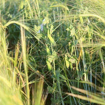 GZPK: Mischkultur Gerste und Erbsen