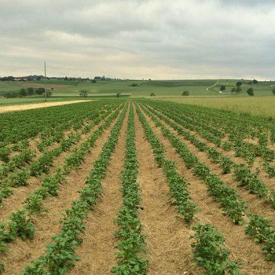 Kartoffelfeld, mit Mulch abgedeckt