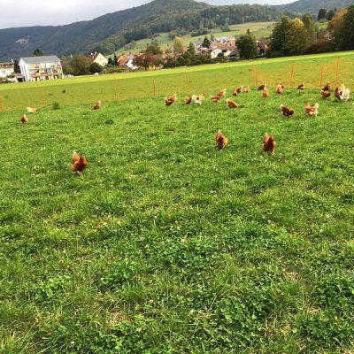 Die Hennen haben reichlich Auslauf auf Kleegrasacker