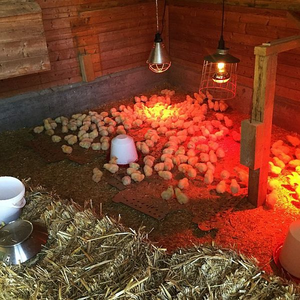 Randenhof: Wohlig warme Kükenstube bietet Platz für 300 flaumige Bewohner