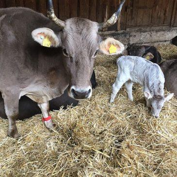 Mutter mit 16 – Kuh Larissa hat ihr 13. Kalb geboren